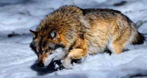 تعبیر خواب گرگ سفید